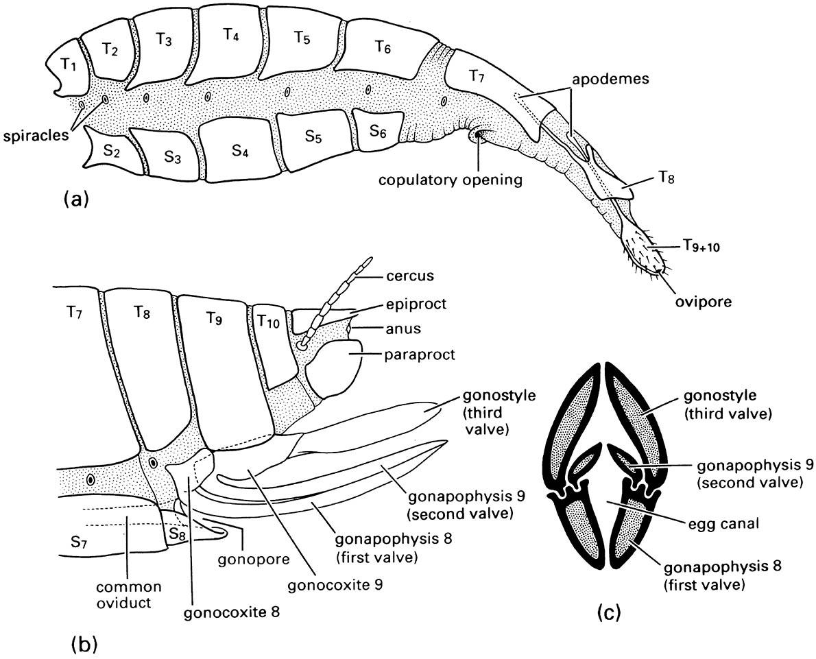 The female abdomen and ovipositor: