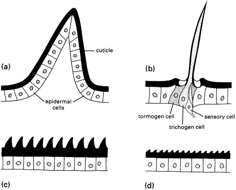 The four basic types of cuticular protuberances: (a) a multicellular spine; (b) a seta, or trichoid sensillum; (c) acanthae; and (d) microtrichia.