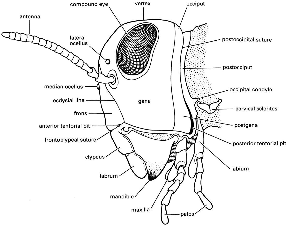 Lateral view of the head of a generalized pterygote insect.