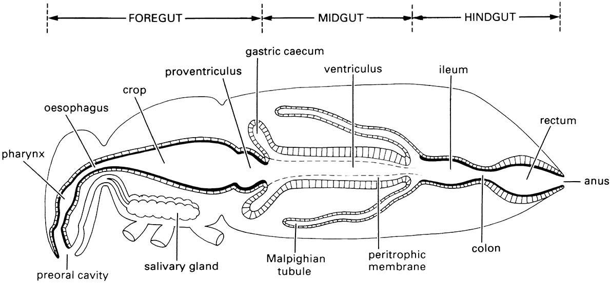 Generalized insect alimentary canal showing division into three regions.