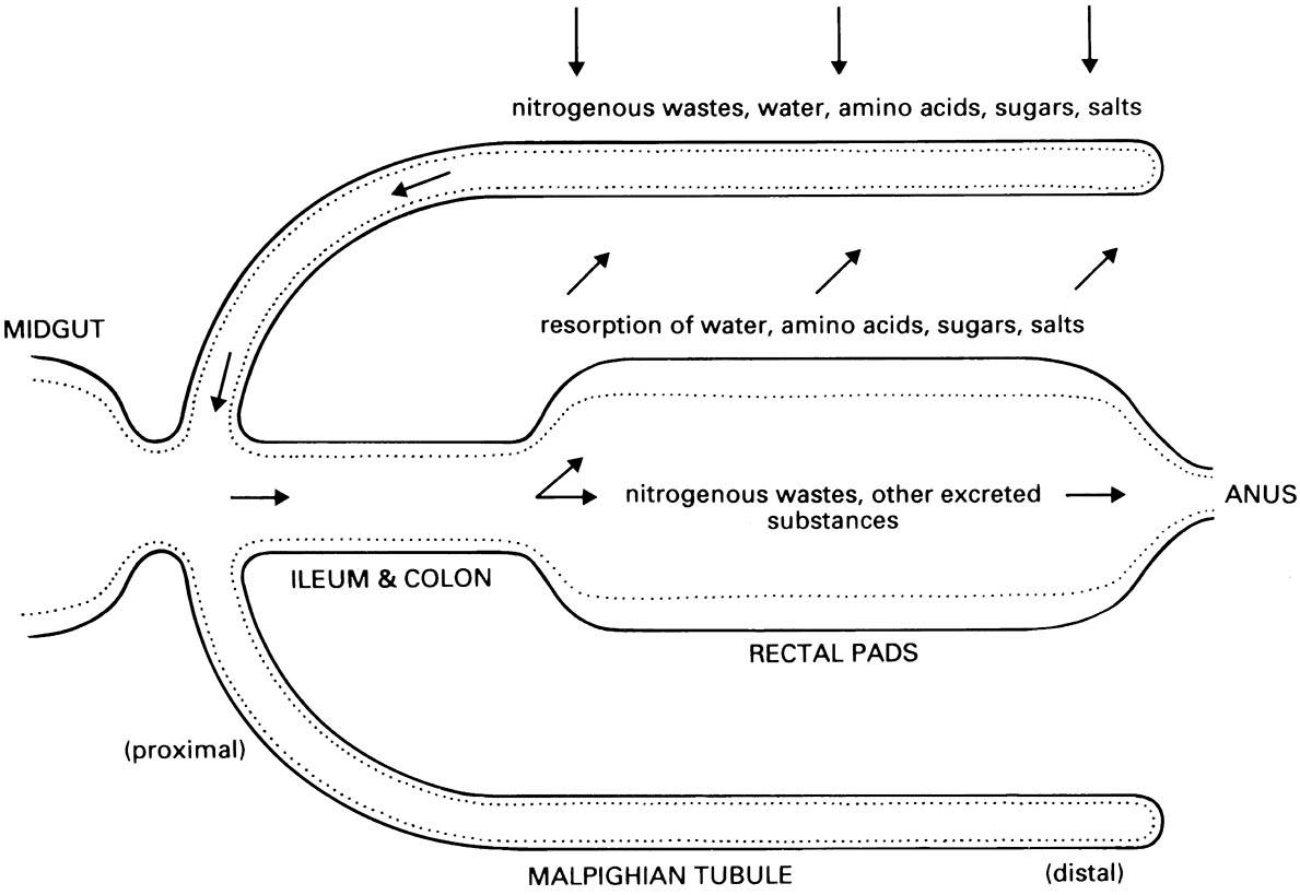 Schematic diagram of a generalized excretory system showing the path of elimination of wastes.
