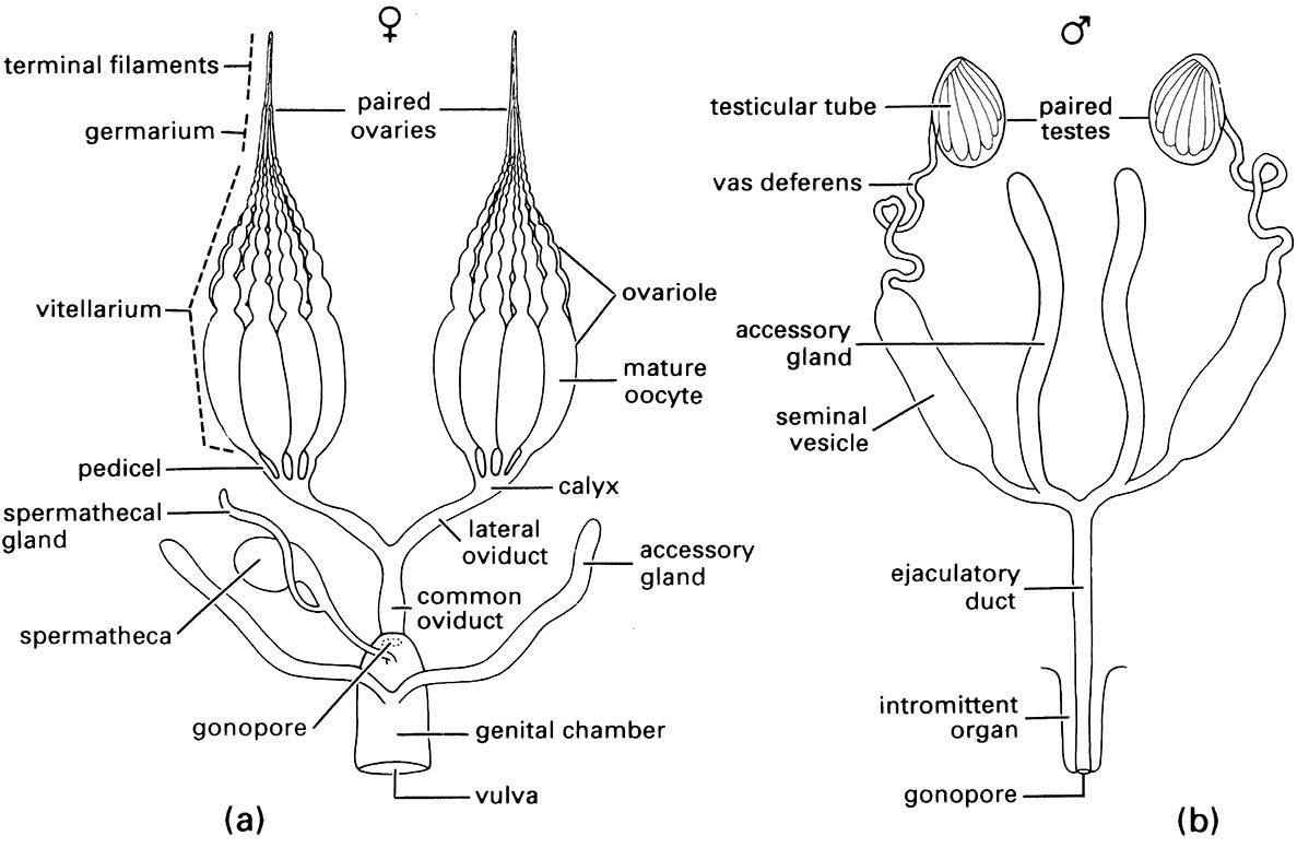 The female system the insects comparison of generalized a female and b male reproductive systems ccuart