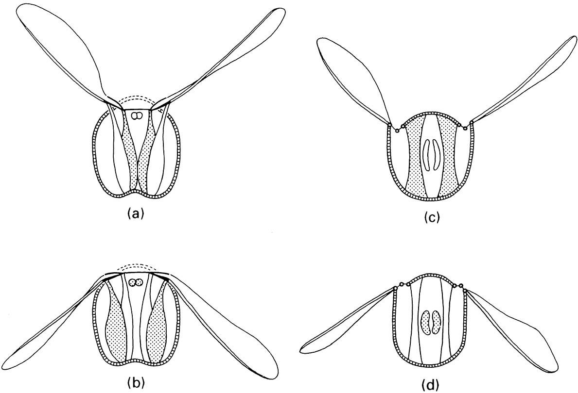 Direct flight mechanisms: thorax during (a) upstroke and (b) downstroke of the wings. Indirect flight mechanisms: