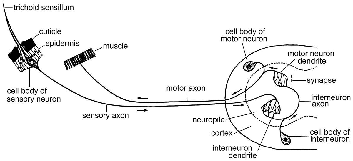 Diagram of a simple reflex mechanism of an insect.