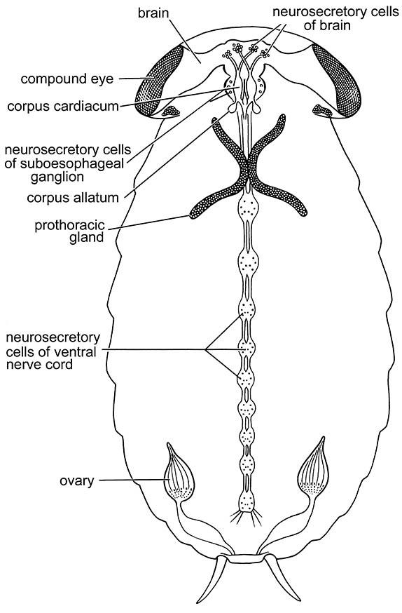The main endocrine centers in a generalized insect.