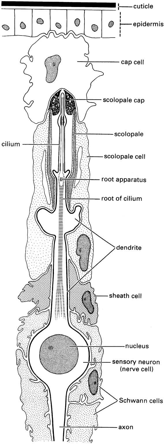 Longitudinal section of a scolopidium, the basic unit of a chordotonal organ.