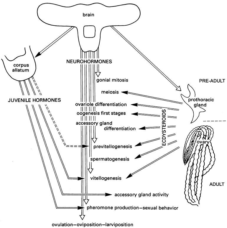 A schematic diagram of the hormonal regulation of reproductive events in insects.