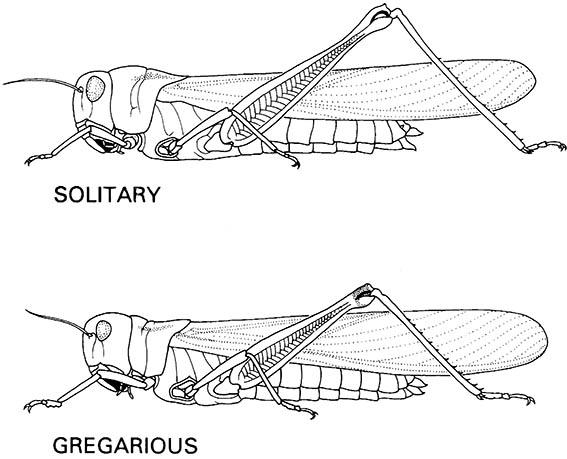 Solitary and gregarious females of the migratory locust, Locusta migratoria (Orthoptera: Acrididae).