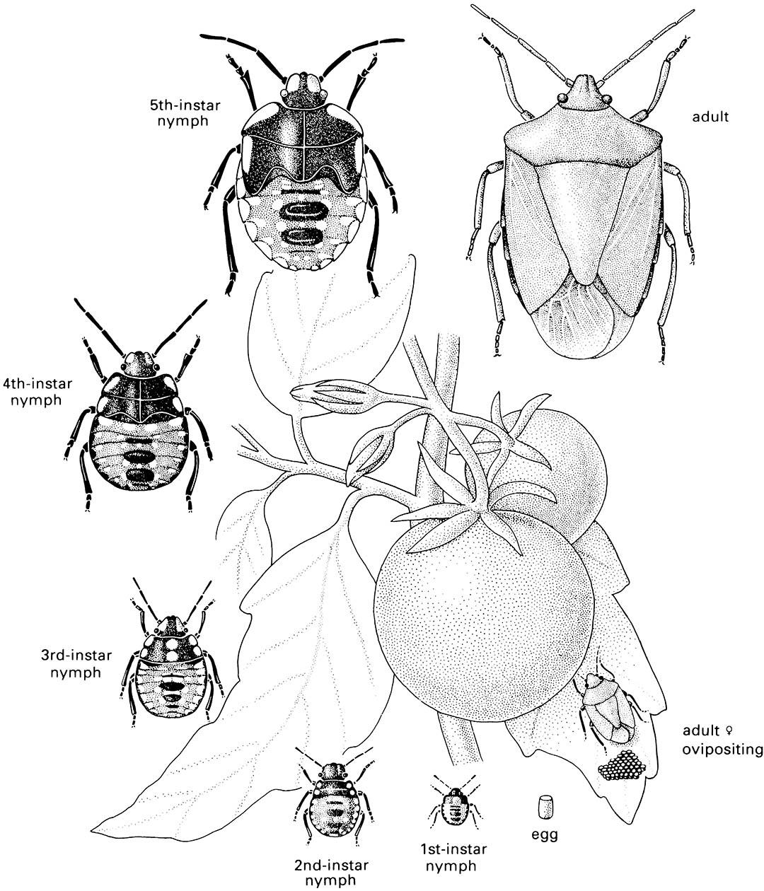 The life cycle of a hemimetabolous insect, the southern green stink bug or green vegetable bug, Nezara viridula (Hemiptera: Pentatomidae), showing the eggs, nymphs of the five instars, and the adult bug on a tomato plant.