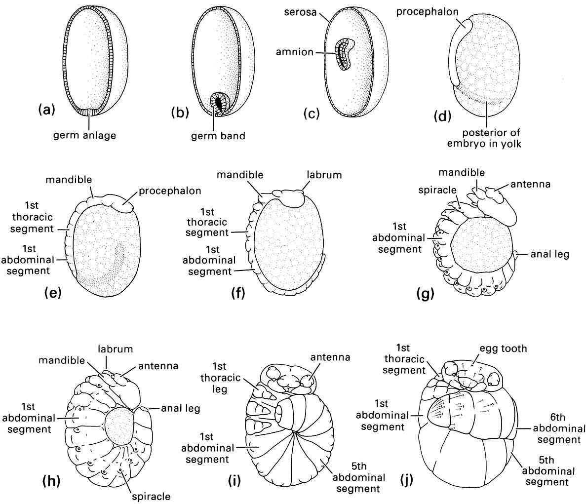 Embryonic development of the scorpionfly Panorpodes paradoxa (Mecoptera: Panorpodidae):