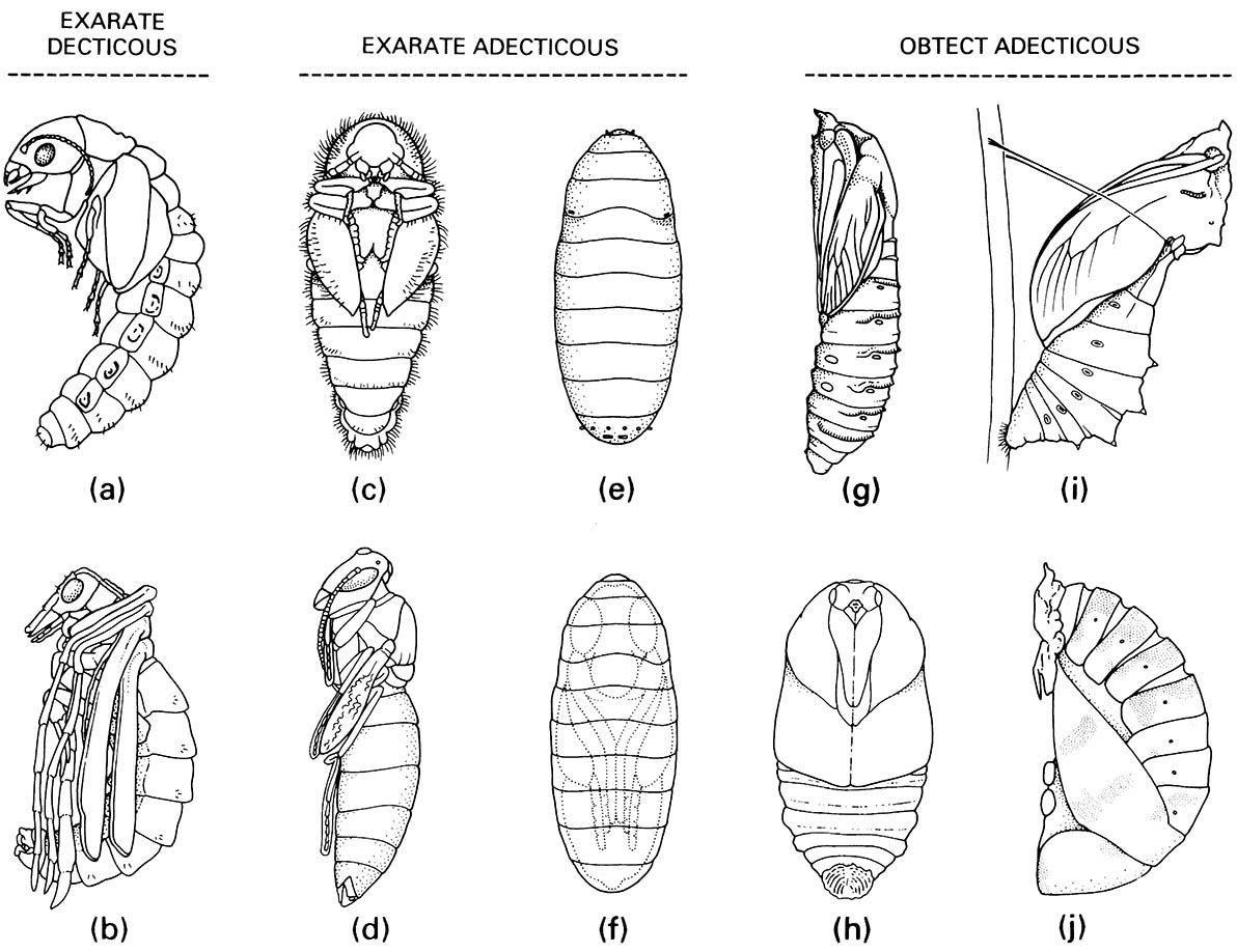 Examples of pupal types.