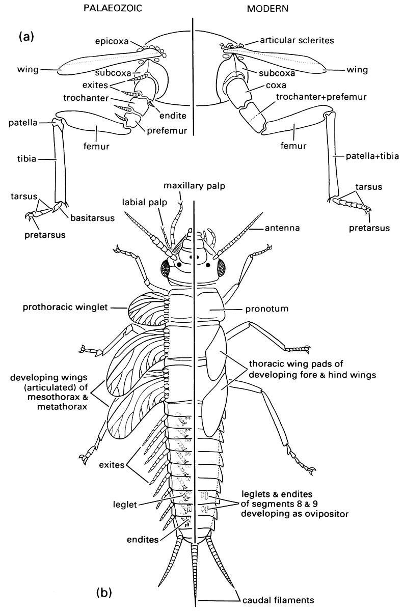 Appendages of hypothetical primitive Palaeozoic (left of each diagram) and modern (right of each diagram) pterygotes (winged insects):