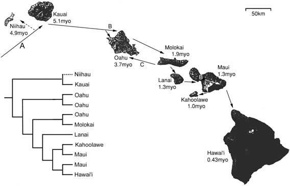 Area cladogram showing phylogenetic relationships of hypothetical insect taxa with taxon names replaced by their areas of endemism in the Hawai'ian archipelago.