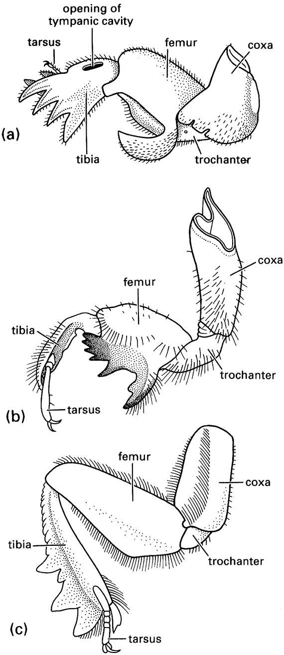 Fossorial fore legs of: