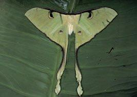 The moon moth, Argema maenas (Lepidoptera: Saturniidae), is found in south-east Asia and India; this female, from rainforest in Borneo, has a wingspan of about 15 cm.
