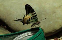 A tropical butterfly, Graphium antiphates itamputi (Lepidoptera: Papilionidae), from Borneo, obtaining salts by imbibing sweat from a training shoe.