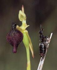 A female thynnine wasp of Zaspilothynnus trilobatus (Hymenoptera: Tiphiidae) (on the right) compared with the flower of the sexually deceptive orchid Drakaea glyptodon, which attracts pollinating male wasps by mimicking the female wasp.