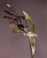 A male thynnine wasp of Neozeloboria cryptoides (Hymenoptera: Tiphiidae) attempting to copulate with the sexually deceptive orchid Chiloglottis trapeziformis.