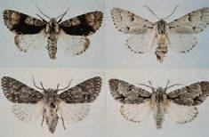 The cryptic adult moths of four species of Acronicta (Lepidoptera: Noctuidae): A. alni, the alder moth (top left); A. leporina, the miller (top right); A. aceris, the sycamore (bottom left); and A. psi, the grey dagger (bottom right).
