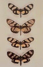 One of Bates' mimicry complexes from the Amazon Basin involving species from three different lepidopteran families — Methona confusa confusa (Nymphalidae: Ithomiinae) (top), Lycorea ilione ilione (Nymphalidae: Danainae) (second from top), Patia orise orise (Pieridae) (second from bottom), and a day-flying moth of Gazera heliconioides (Castniidae).