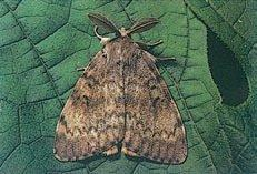 Adult male gypsy moth, Lymantria dispar (Lepidoptera: Lymantriidae), from New Jersey, USA.