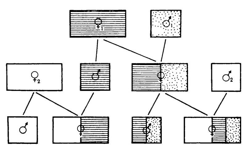 Схема, иллюстрирующая генетические отношения между самками и самцами у эусоциальных перепончатокрылых