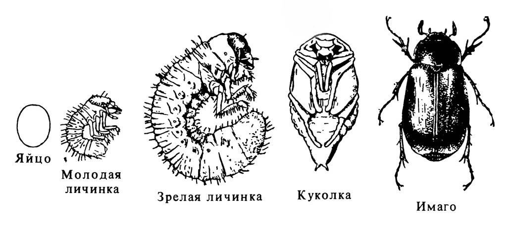 Полный метаморфоз (полное превращение) у жука Phyllophaga sp.