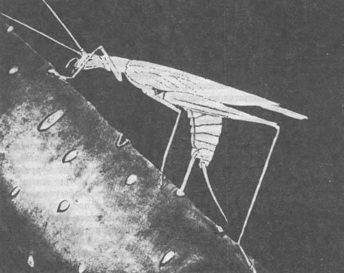 Сверчок-трубачик, откладывающий яйца