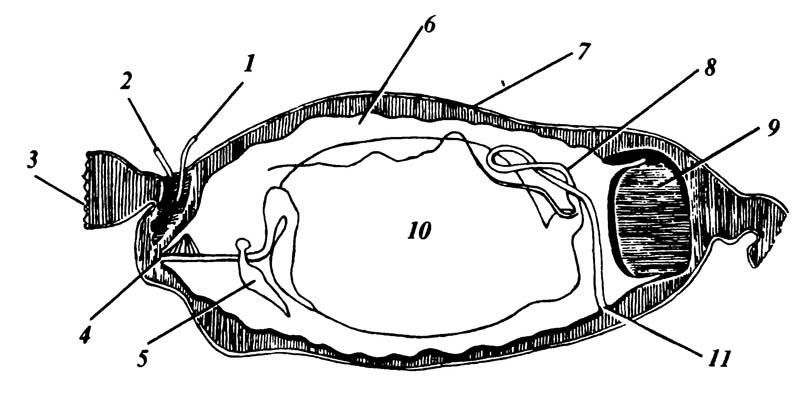 Личинка (незаштрихована, за исключением её дыхальцевой пластинки) мухи цеце Glossina в материнской матке