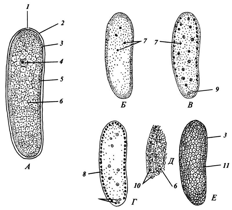 Строение и ранние стадии дробления типичного яйца насекомого, показанные на срезах