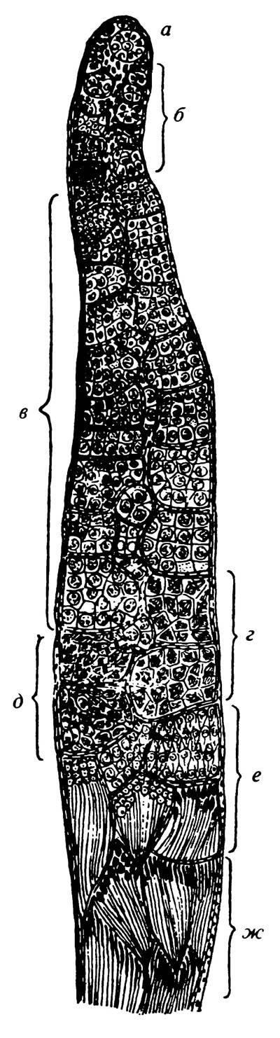 Продольный разрез фолликула из семенника самца саранчи (полусхематично)