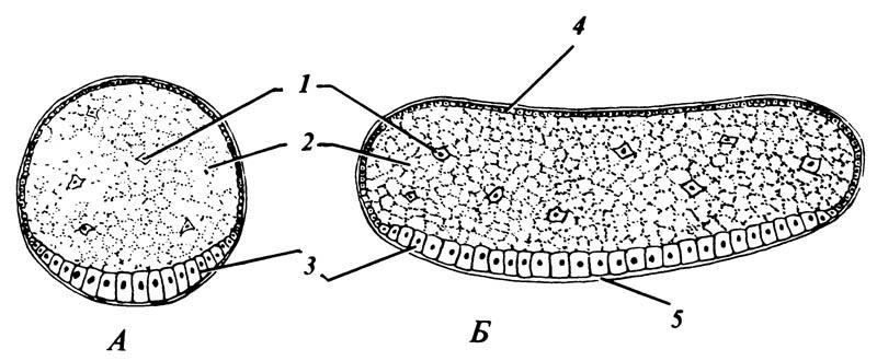 Образование зародышевой полоски на вентральной стороне бластодермы