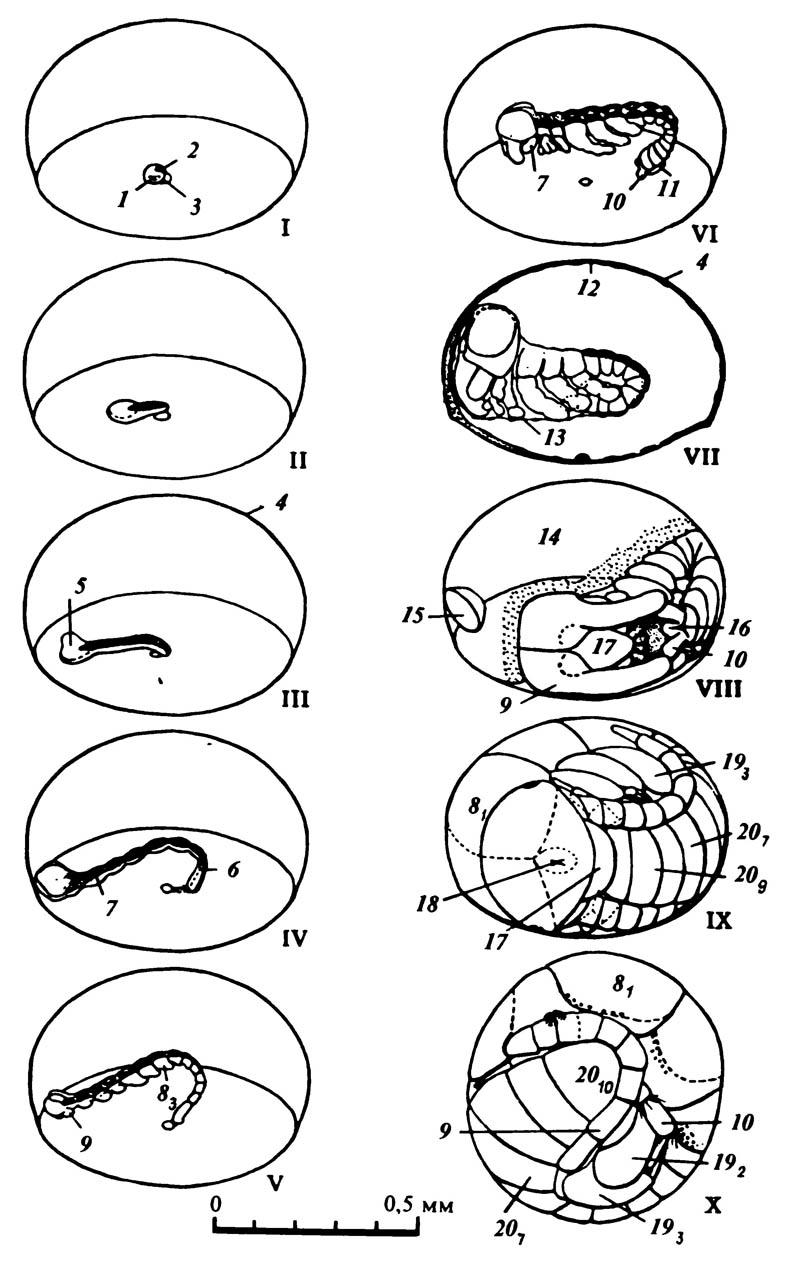 Рост зародыша и развитие сегментации тела у веснянки