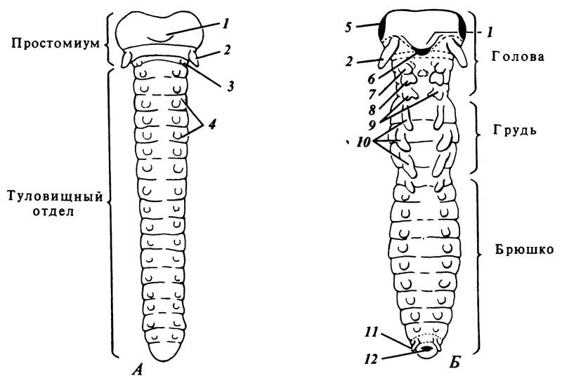 Зародыш на ранней стадии развития конечностей
