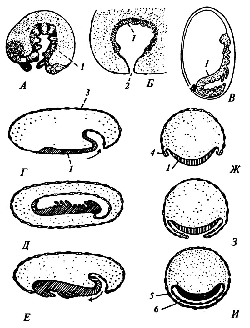 Схематические рисунки, демонстрирующие положение и перемещения зародыша внутри яйца, происходящие тремя способами