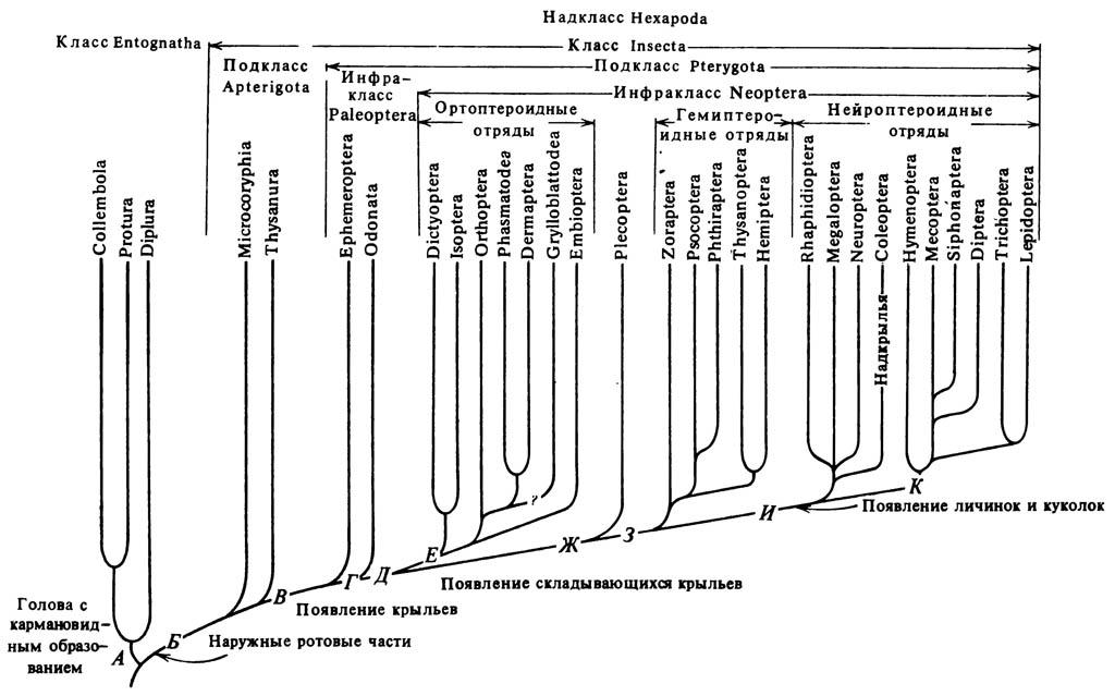 Схема предполагаемого филогенеза отрядов энтогнат и насекомых