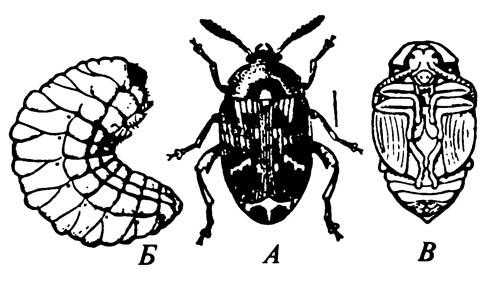 Гороховая зерновка Bruchus pisorum
