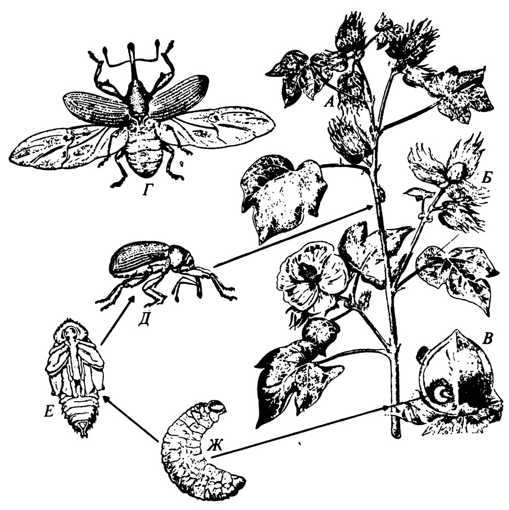 Хлопковый долгоносик Anthonomus grandis