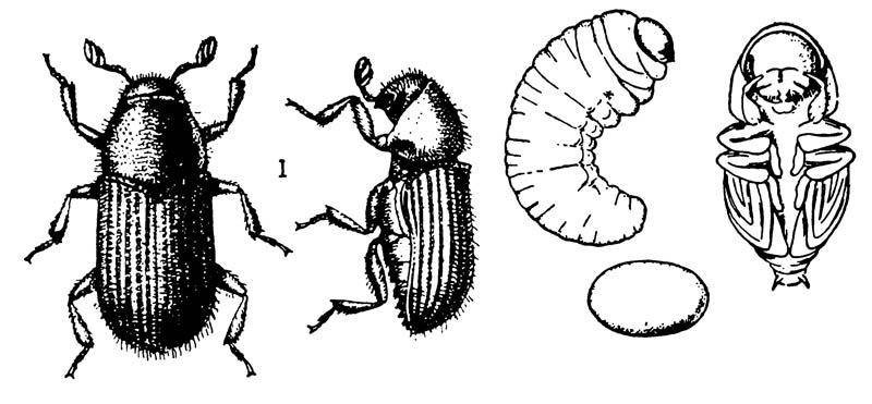 Короед Phloeotribus limnaris
