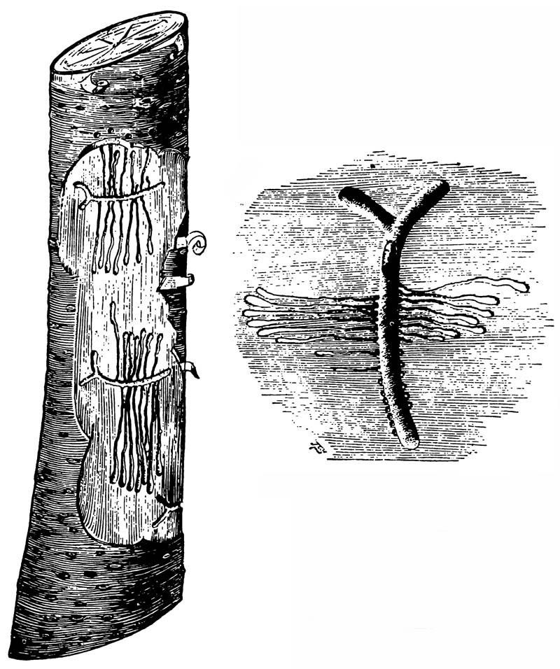 Маточный ход и ходы личинок короеда Phloeotribus limnaris