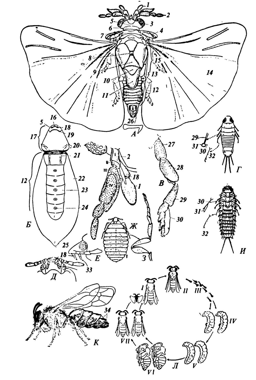 Stylopoidea, основные черты внешнего строения и цикл развития