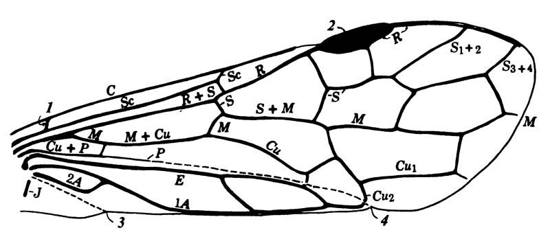 Схема жилкования крыла перепончатокрылых, совмещающая примитивные признаки ряда наиболее архаичных семейств