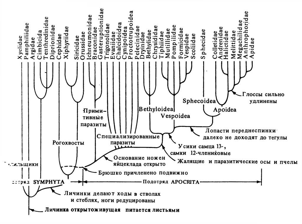 Упрощённое филогенетическое древо отряда Himenoptera