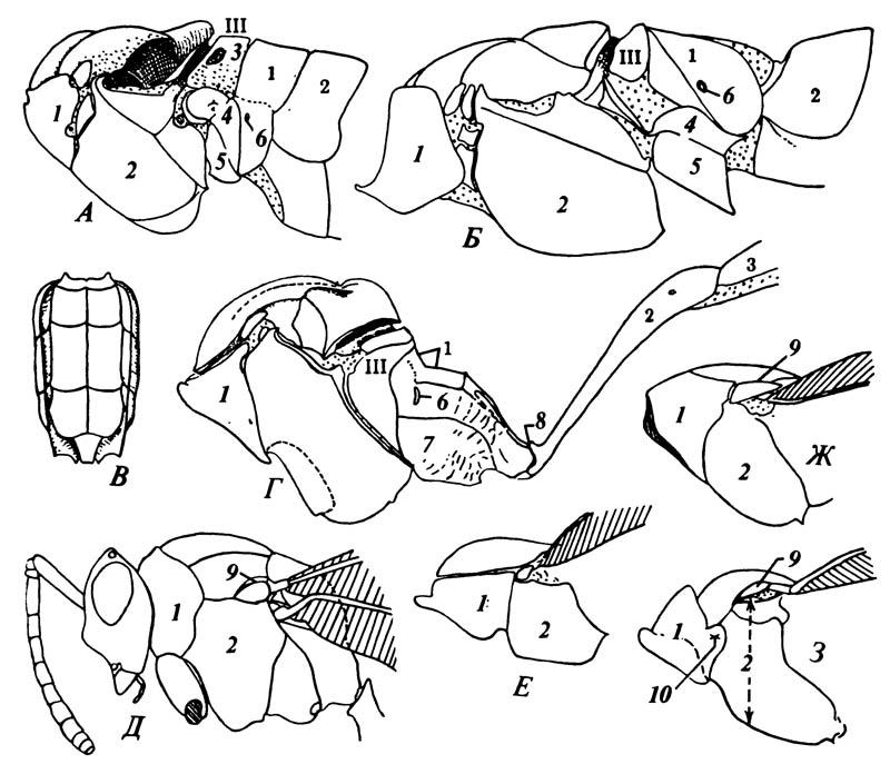 Диагностические признаки некоторых Hymenoptera