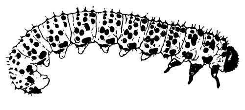 Личинка питающейся стадии завезённого ягодного пилильщика Nematus ribesi