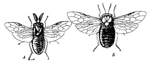 Красноголовый сосновый, пилильщик Neodiprion lecontei