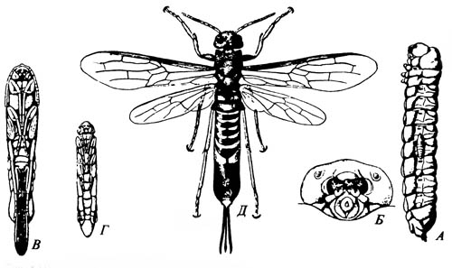 Рогохвост Tremex columba