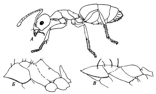 Вид сбоку муравьёв, у которых хорошо заметна спинная чешуйка на стебельке