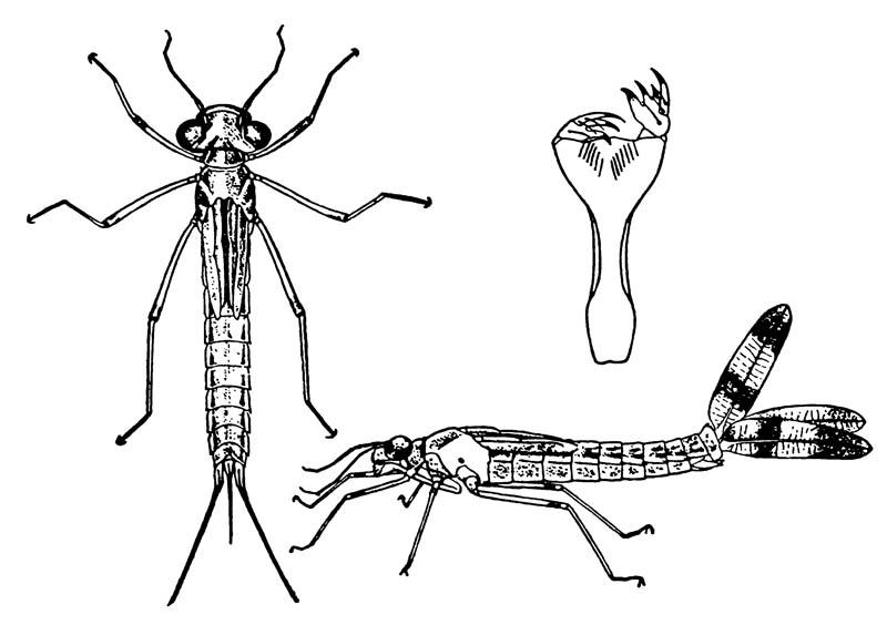 Нимфа равнокрылой стрекозы Archilestes californica