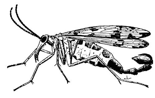 Самец скорпионницы Panorpa chelata